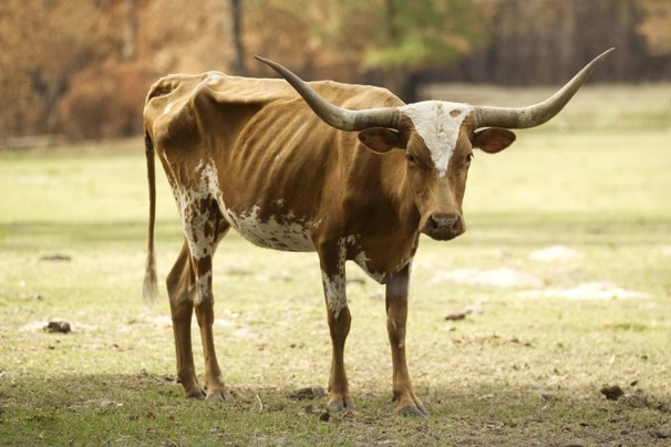 Even Aggies don't wish this fate on Bevo